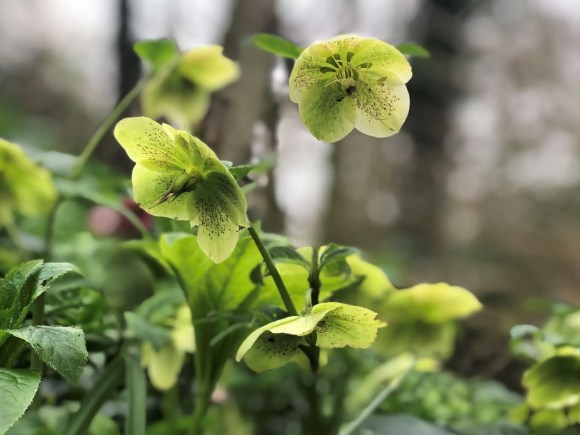 Hellebores in Skipton Woods