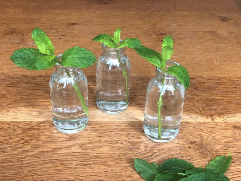 how to grow herbs from cuttings