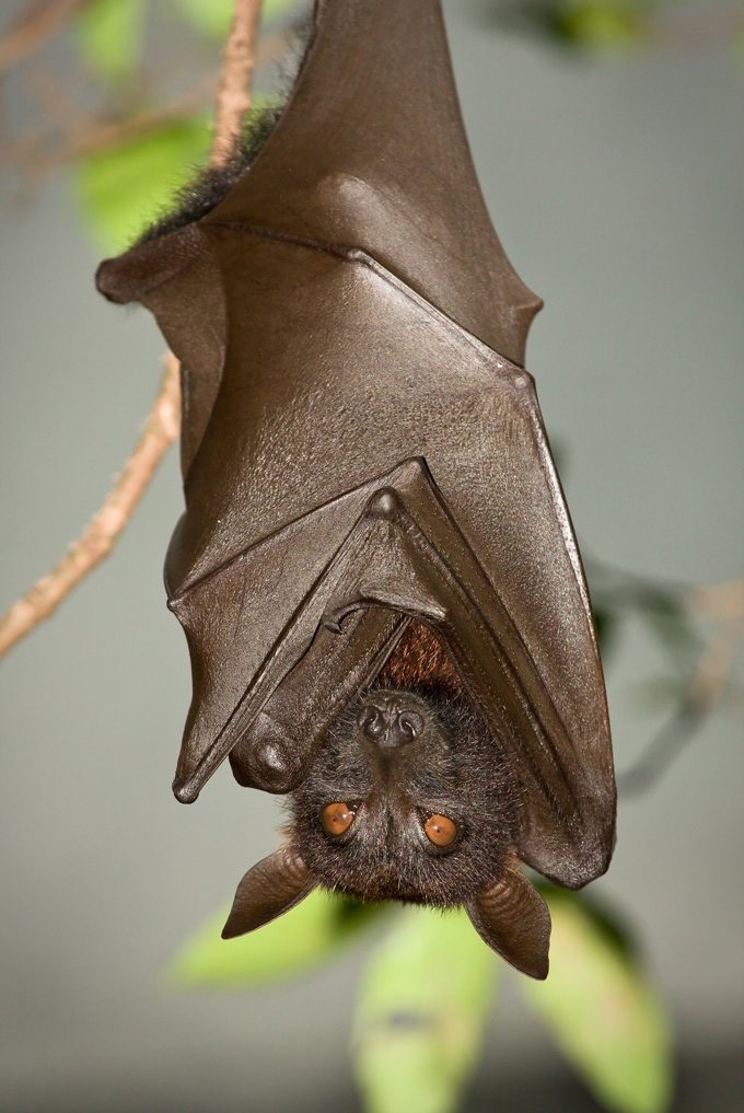 Bat Meaning And Bat Animal Symbolism On Whats Your Sign