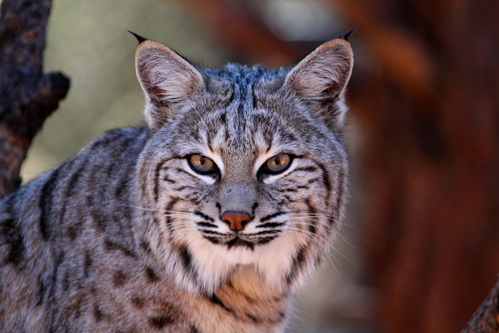 Bobcat Animal Totem Meanings On Whats Your Sign