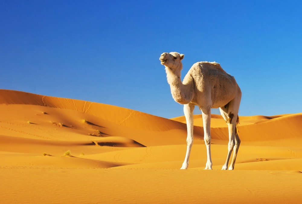 Symbolic Camel Meaning and More on Whats-Your-Sign com