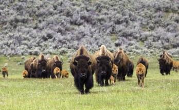 symbolic buffalo meaning