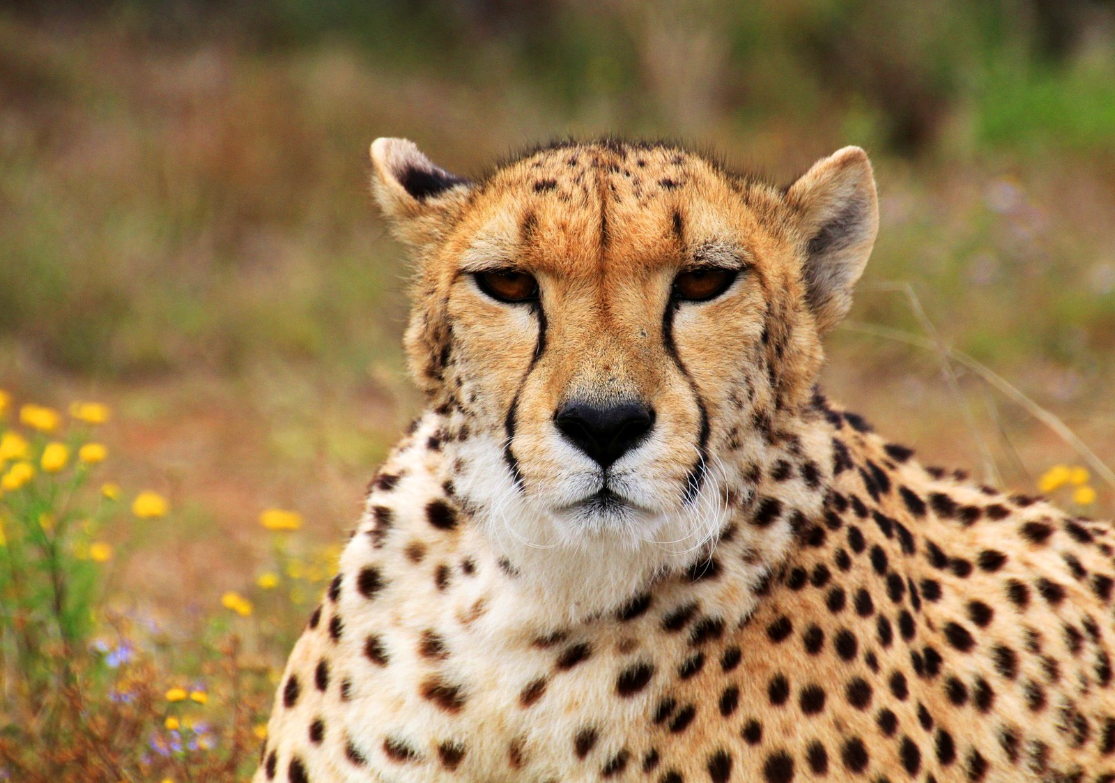 Symbolic Cheetah Characteristics On Whats Your Sign