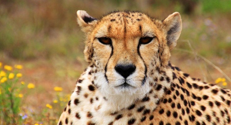 symbolic cheetah characteristics