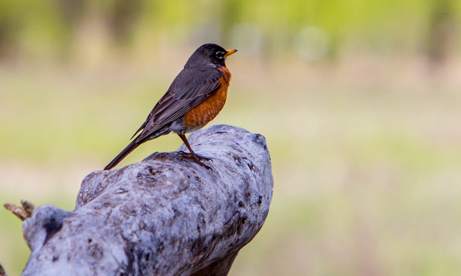 Animal Symbolism Red Robin Meaning On Whats Your Sign