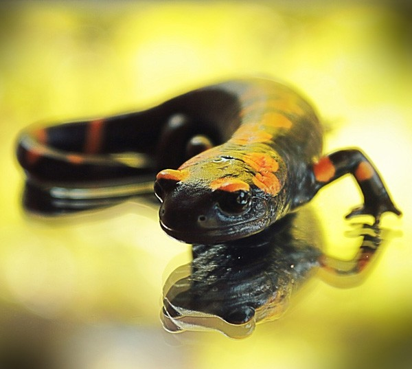Animal Symbolism Salamander Meaning On Whats Your Sign