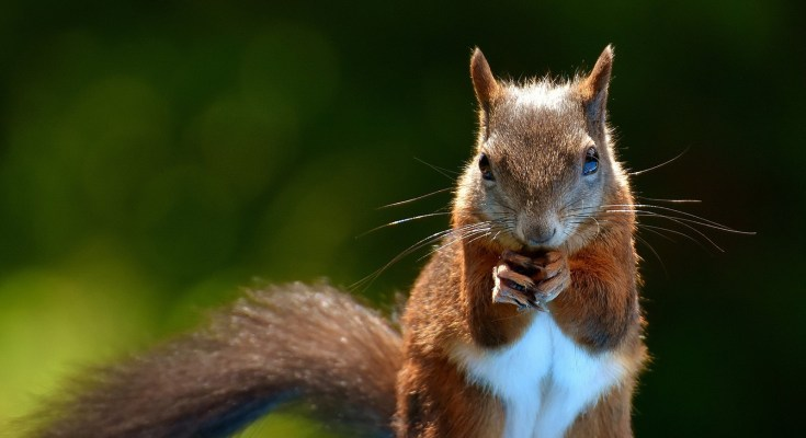 animal symbolism squirrel meaning