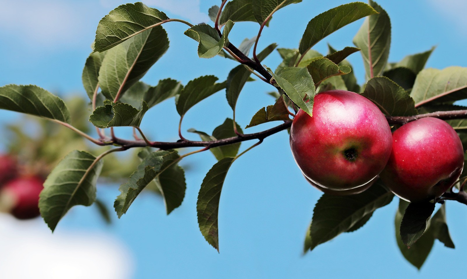 Celtic Meaning Of The Apple Tree And Ogham Meaning On Whats Your Sign