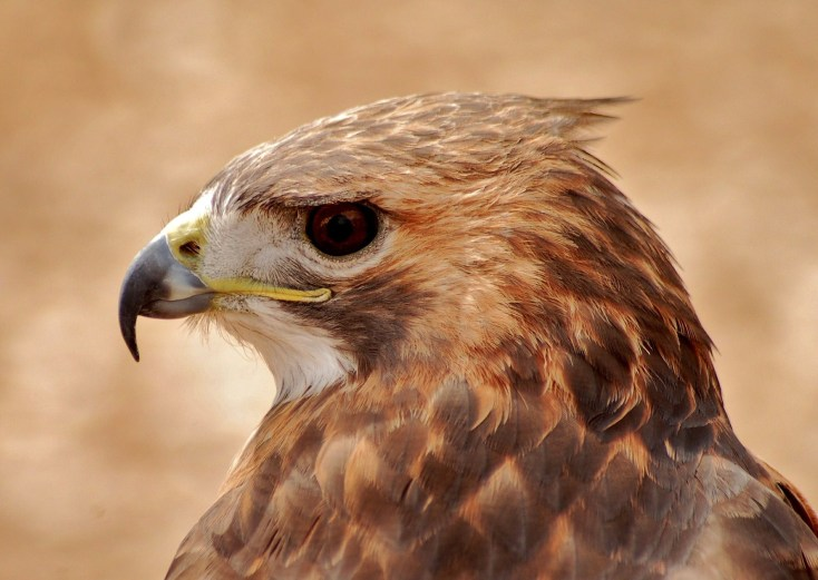 Celtic Zodiac Sign Hawk Meaning And Astrology On Whats Your Sign