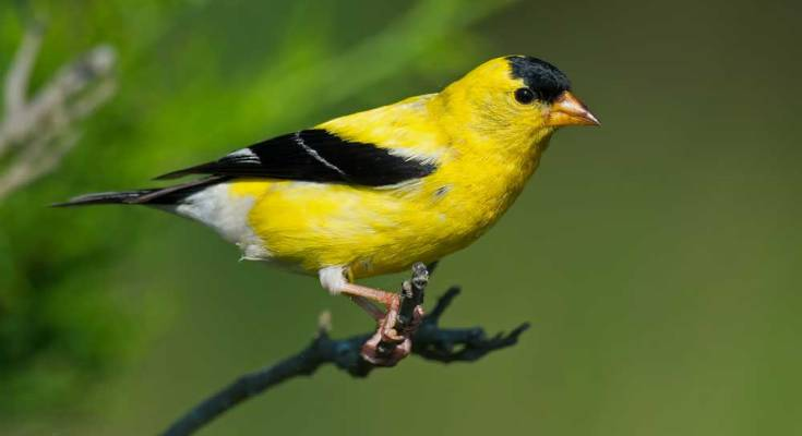 symbolic finch meaning