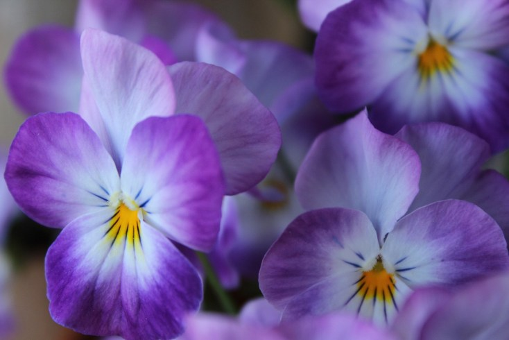 Symbolic Violet Meaning And Flower Meaning On Whats Your Sign
