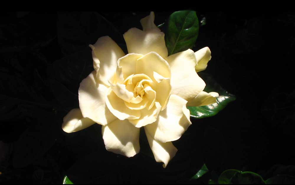 Flower meanings gardenia symbolic meaning on whats your sign flower meanings and gardenia meaning mightylinksfo