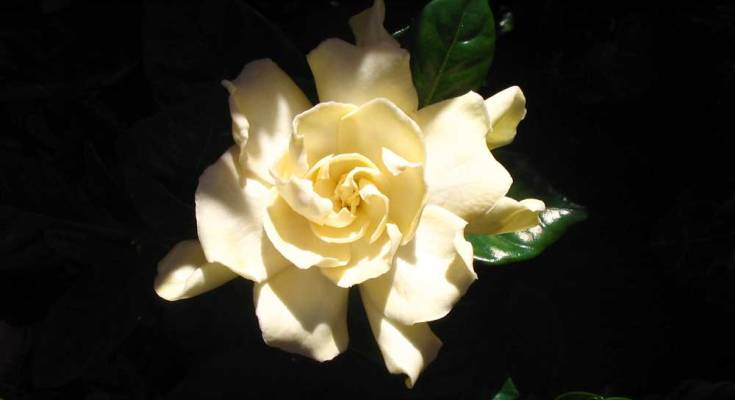flower meanings and gardenia meaning