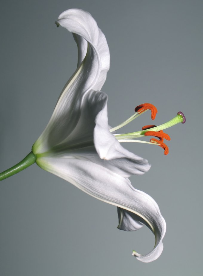 3881b1b138 Lily Meaning and Symbolism of the Lily on Whats-Your-Sign