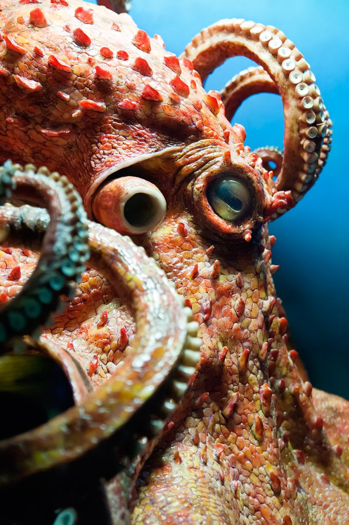 Octopus Animal Symbolism Octopus Meaning On Whats Your Sign