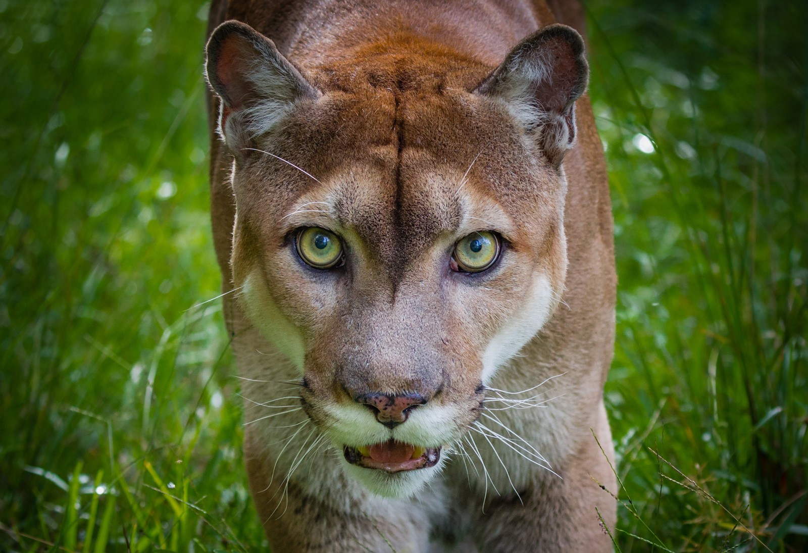 Panther Animal Totem and Panther Meaning on Whats-Your-Sign