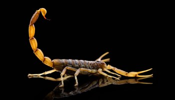 Symbolic Meaning of Scorpion and Scorpion Totem on Whats