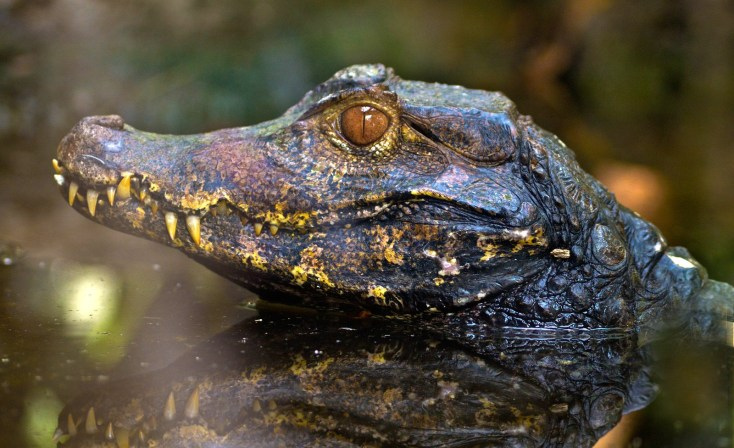 Symbolic Alligator Meaning And Crocodile Meaning On Whats Your Sign