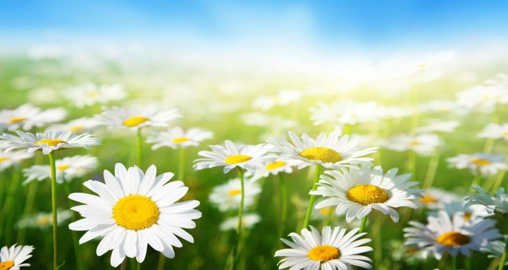 Symbolic Meaning Of The Daisy On Whats Your Sign
