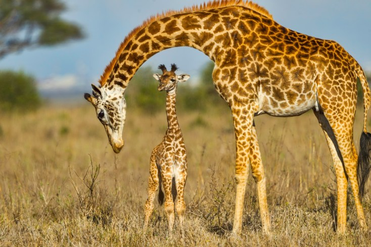 Symbolic Meaning of the Giraffe on Whats-Your-Sign