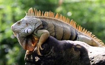 symbolism of iguana