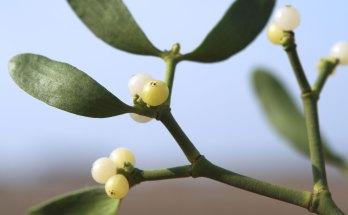 mistletoe meaning