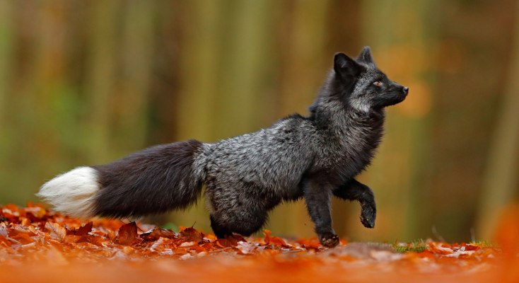 animal symbolism coyote meaning on whats your sign com