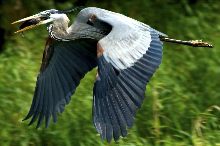 egret symbolism
