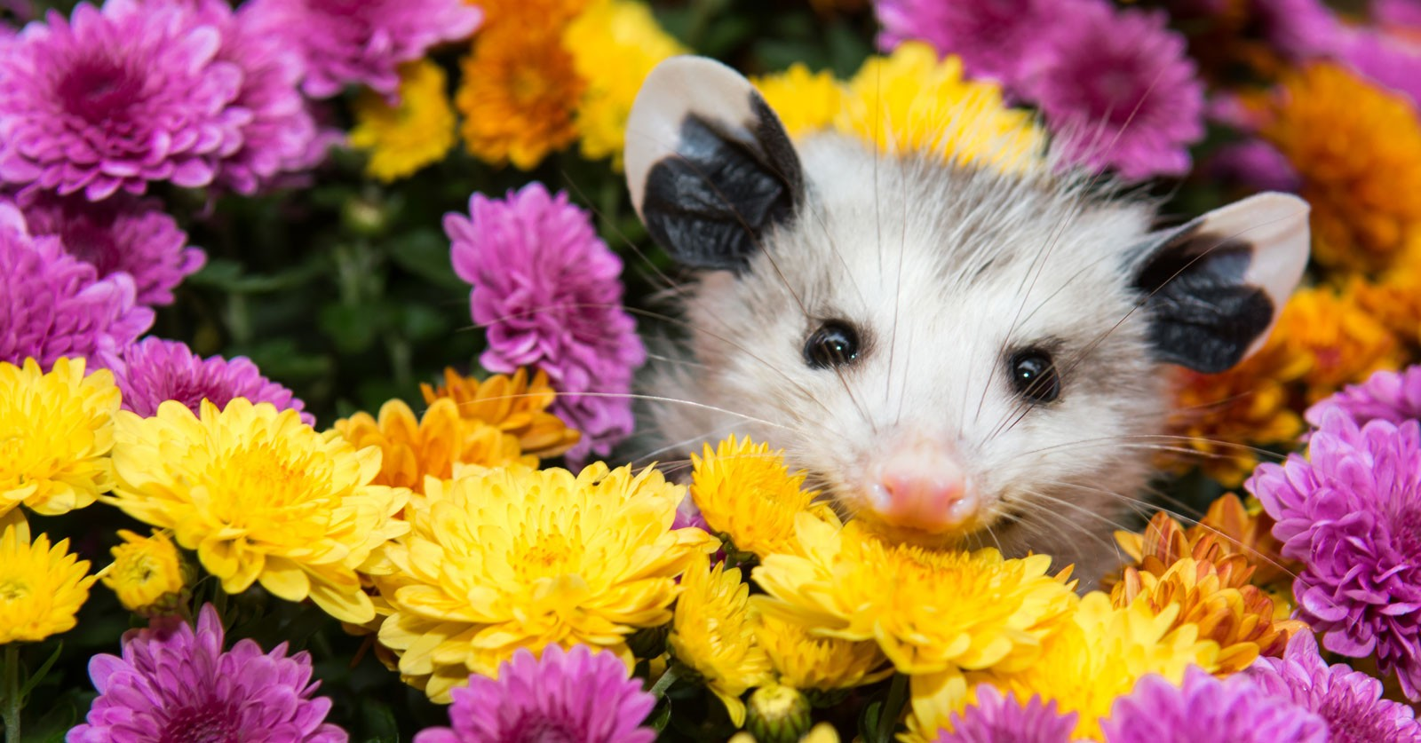 Symbolic Possum Meaning And Possum Totem On Whats Your Sign