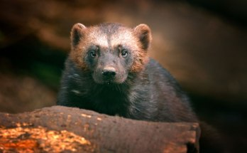 symbolic wolverine meaning