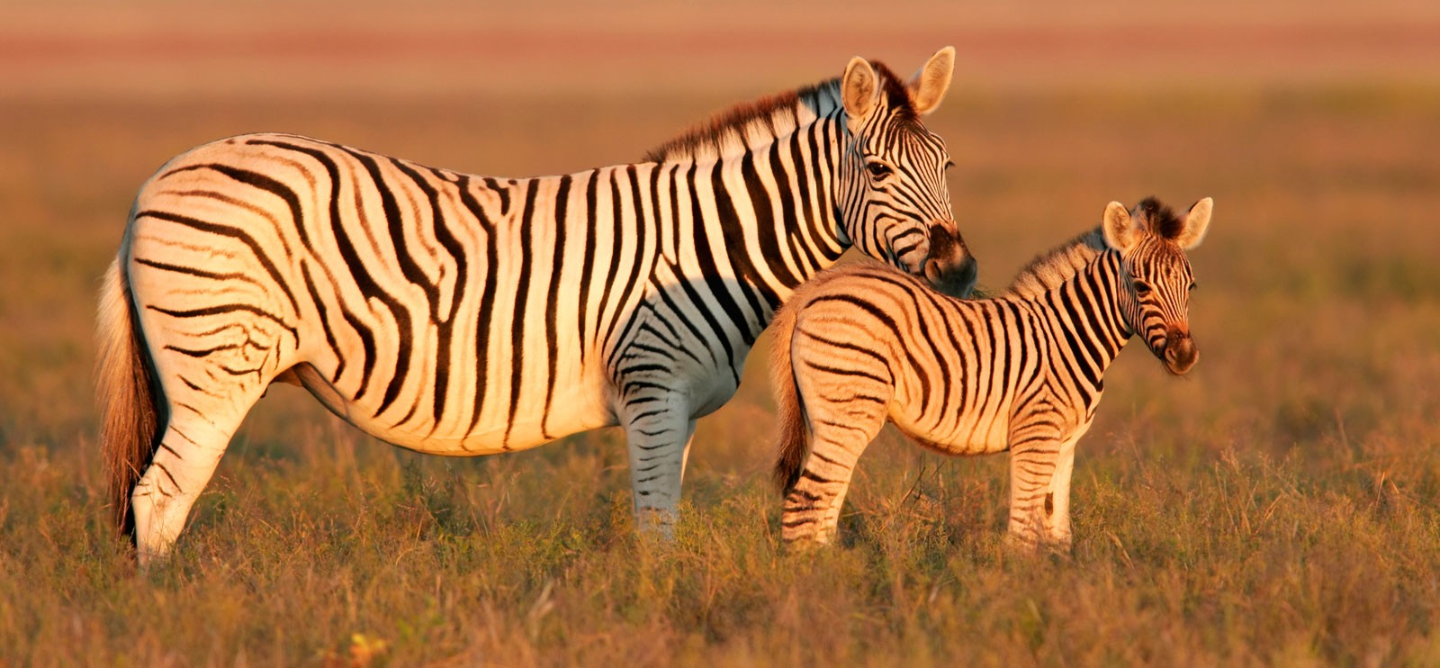 Zebra Facts And Symbolic Meaning On Whats Your Sign