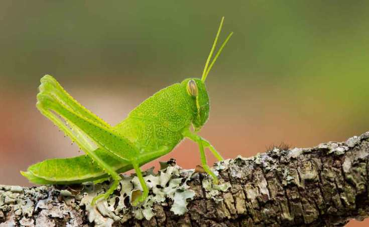 Grasshopper Totem And Symbolism On Whats Your Sign