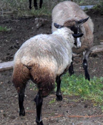 Darn sheep, butting heads again