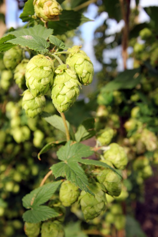 Hops, Square One Hop Growers