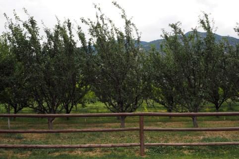 Twisted Hills Apple Trees