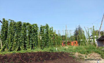 Hop bines next to the farmhouse tasting room
