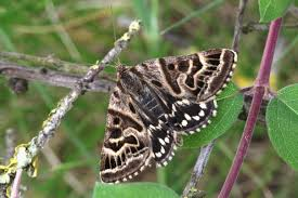 Mother Shipton's Moth
