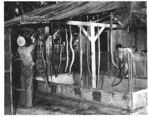 Rattlesnakes hang from clothesline-type holders over a cement pit. Men are arranging them for skinning.