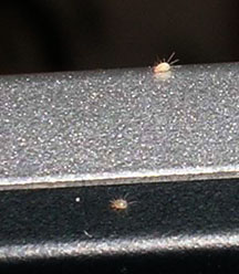 Computer Loving Mites Whats That Bug