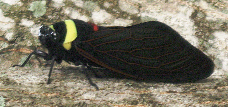 A Malaysian Tacua speciosa cicada the size of the hand of the person holding it.  The cicada is black with yellow and brown stripes and black-brown wings.