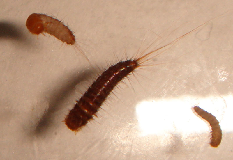 Carpet Beetle Larvae Identification Uk Floor Matttroy
