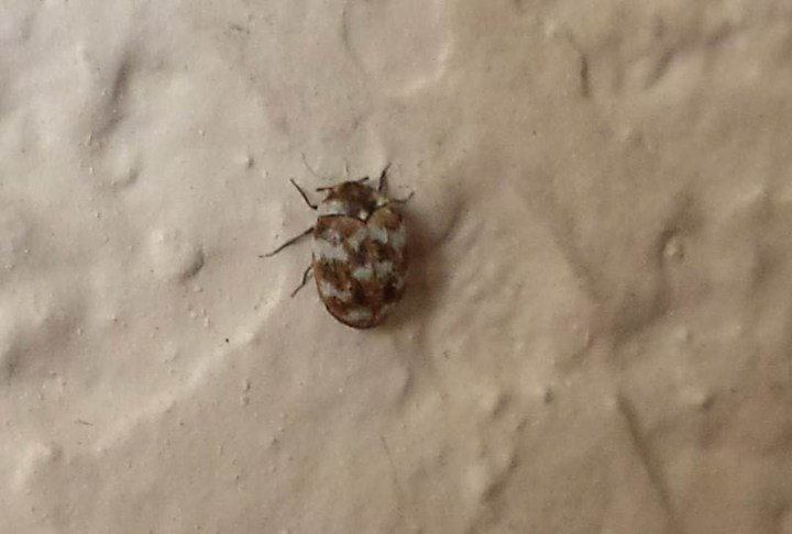 Common Beetles In Homes Xtreme Wheelz Com. Tiny Little White Bugs In Bedroom   Centerfordemocracy org