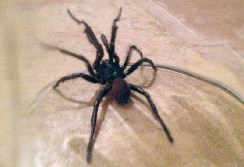 Angeles Types Poisonous Los Spiders