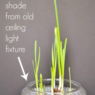 grow paperwhites in water repurpose glass shade from light fixture as a bowl