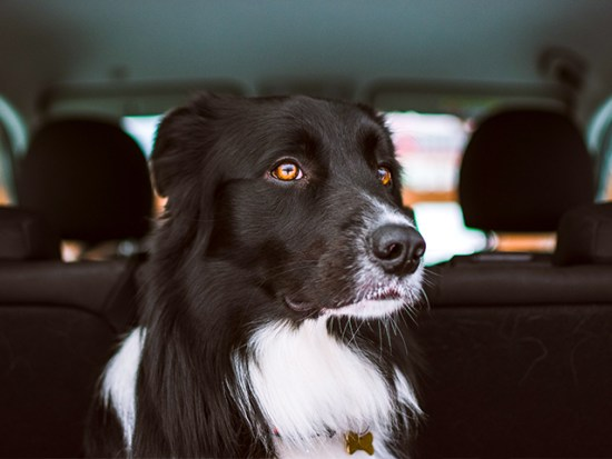Long-haired dog in the trunk of a car.