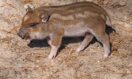 Planning to Own a Teacup Pig as Your Pet? – Read This