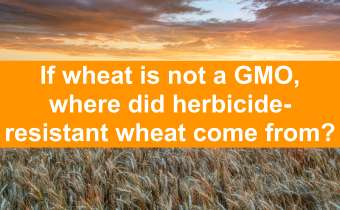 If wheat is not a GMO, where did herbicide resistant wheat come from?