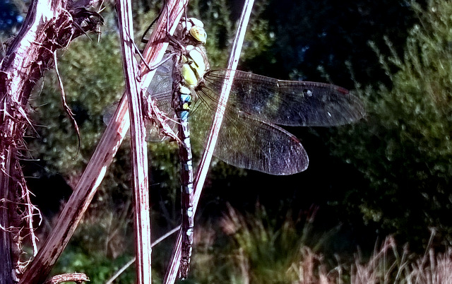 Emperor dragonfly at Wheatland Farm's Devon eco lodges