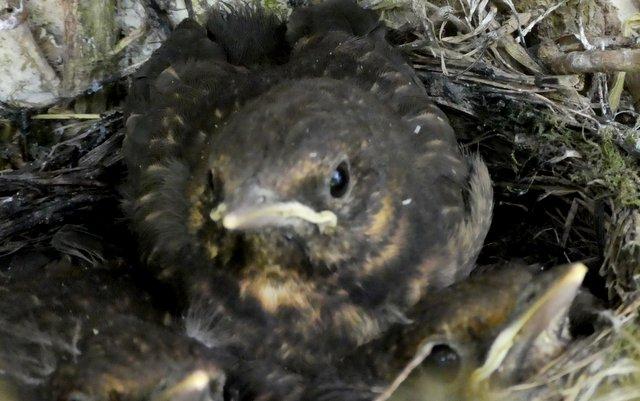 blackbird chicks in the nest