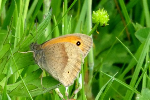 Meadow Brown, Wheatland Farm Devon